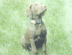 Chocolate Lab Review