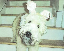 Soft Coated Wheaten Terrier Review